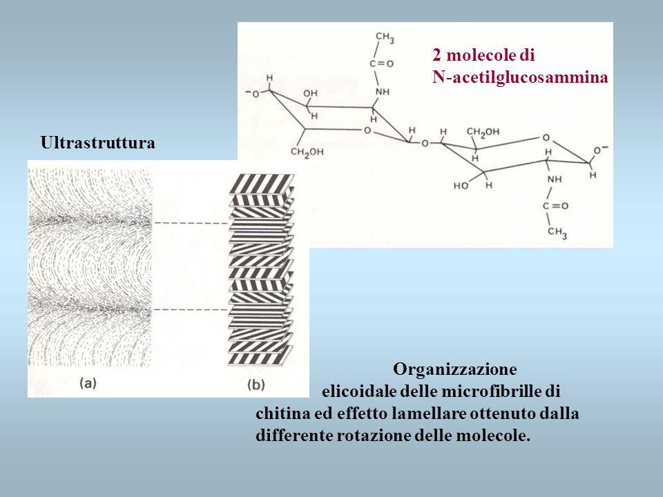 2 molecole di N-acetilglucosammina Ultrastruttura Organizzazione elicoidale delle microfibrille di chitina ed effetto lamellare ottenuto dalla differe