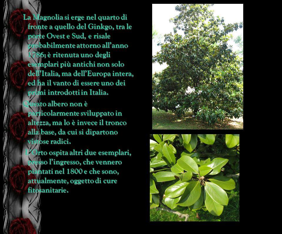 La Magnolia si erge nel quarto di fronte a quello del Ginkgo, tra le porte Ovest e Sud, e risale probabilmente attorno allanno 1786; è ritenuta uno de