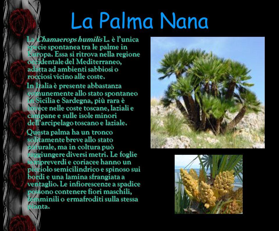 La Palma Nana La Chamaerops humilis L. è lunica specie spontanea tra le palme in Europa. Essa si ritrova nella regione occidentale del Mediterraneo, a