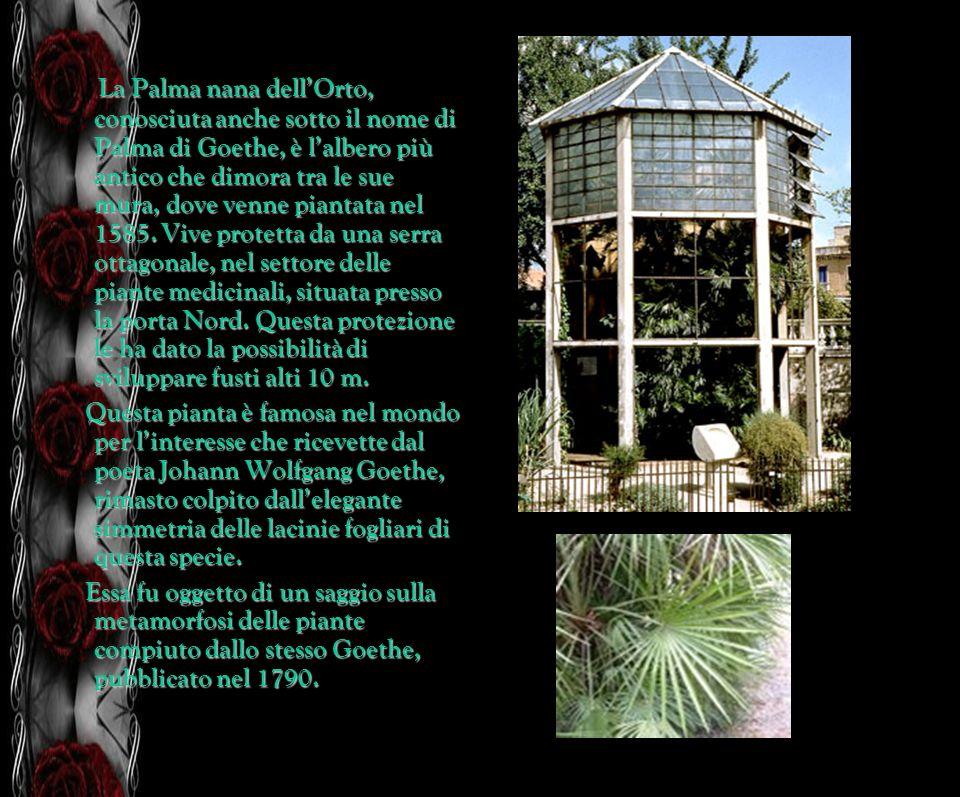 La Palma nana dellOrto, conosciuta anche sotto il nome di Palma di Goethe, è lalbero più antico che dimora tra le sue mura, dove venne piantata nel 15