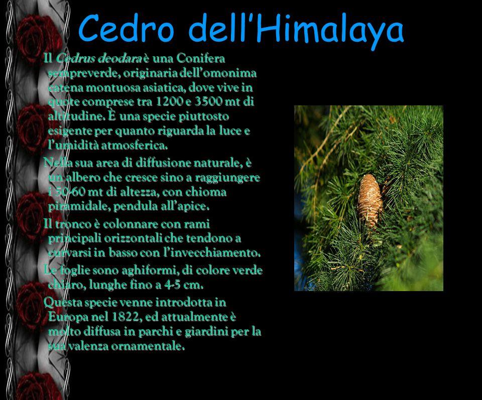 Cedro dellHimalaya Il Cedrus deodara è una Conifera sempreverde, originaria dellomonima catena montuosa asiatica, dove vive in quote comprese tra 1200