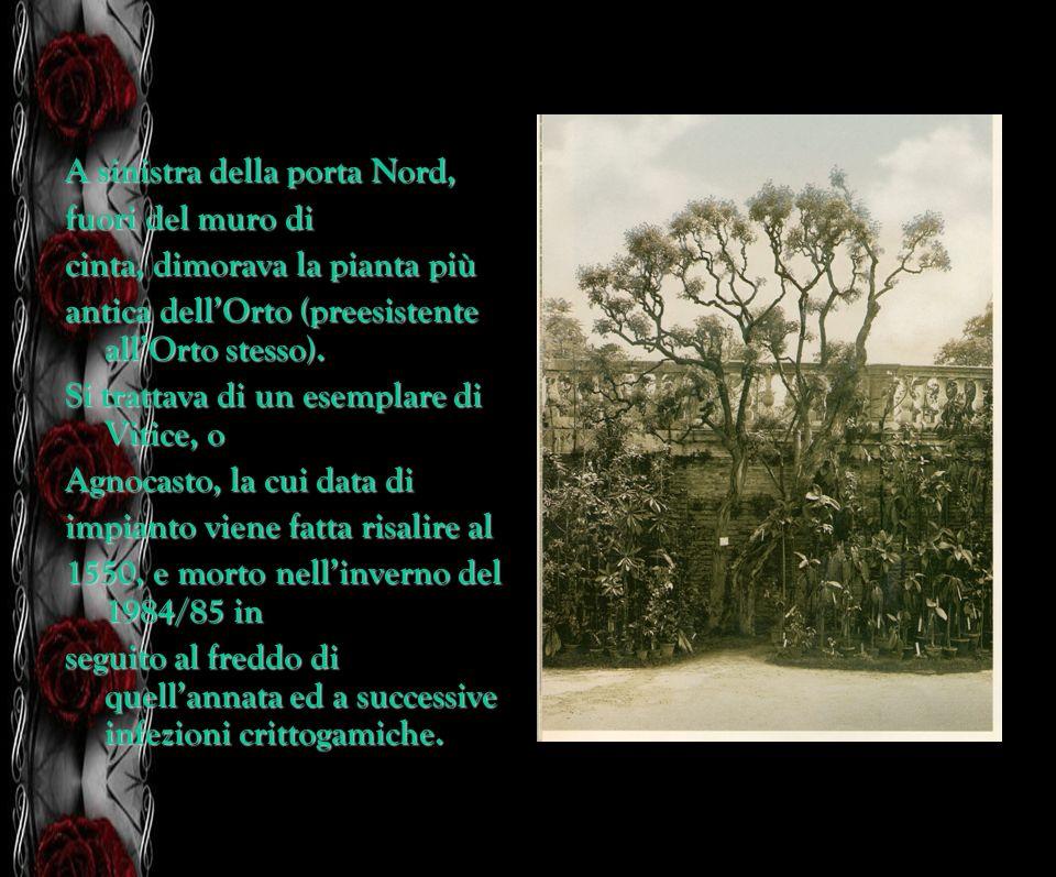 A sinistra della porta Nord, fuori del muro di cinta, dimorava la pianta più antica dellOrto (preesistente allOrto stesso). Si trattava di un esemplar