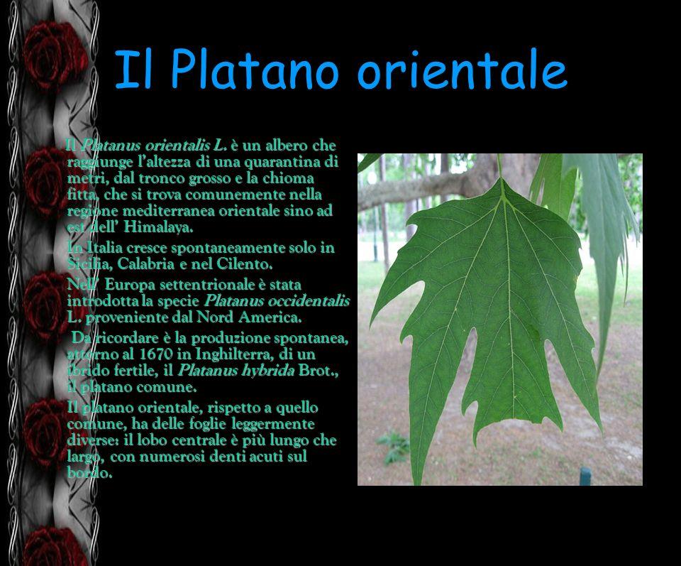 Il Platano orientale Il Platanus orientalis L. è un albero che raggiunge laltezza di una quarantina di metri, dal tronco grosso e la chioma fitta, che