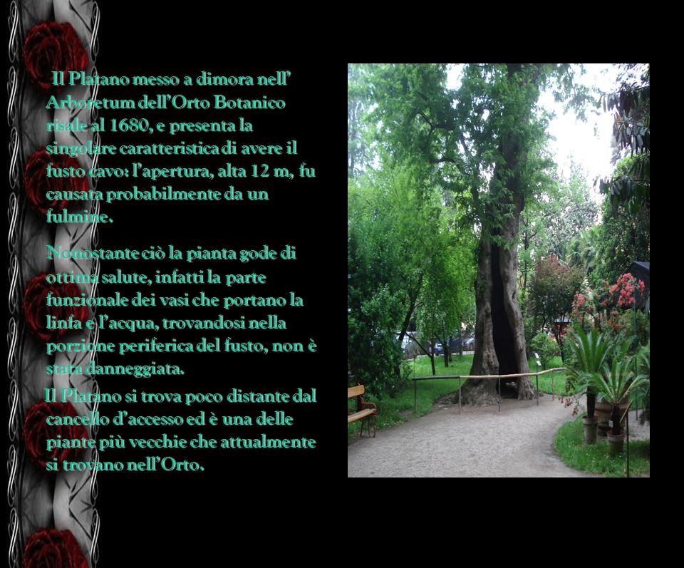 Il Platano messo a dimora nell Arboretum dellOrto Botanico risale al 1680, e presenta la singolare caratteristica di avere il fusto cavo: lapertura, a