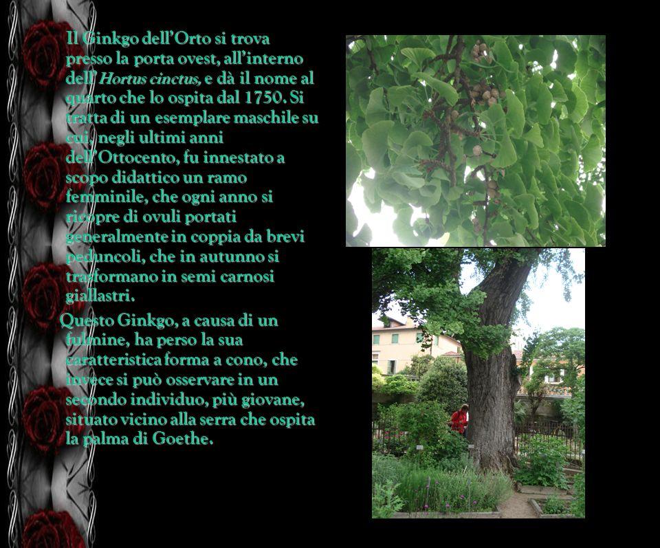 Il Ginkgo dellOrto si trova presso la porta ovest, allinterno dell Hortus cinctus, e dà il nome al quarto che lo ospita dal 1750. Si tratta di un esem