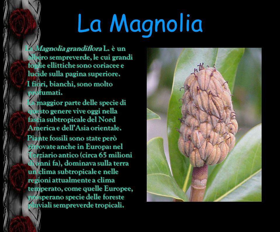 La Magnolia La Magnolia grandiflora L. è un albero sempreverde, le cui grandi foglie ellittiche sono coriacee e lucide sulla pagina superiore. I fiori