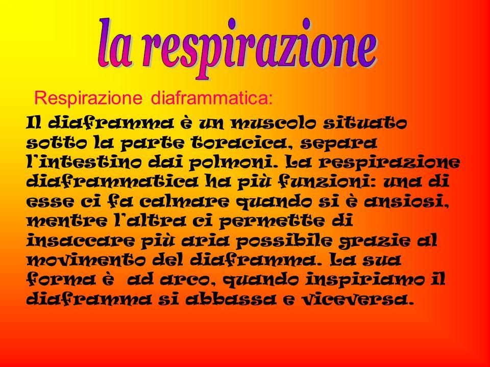 Respirazione diaframmatica: Il diaframma è un muscolo situato sotto la parte toracica, separa lintestino dai polmoni.