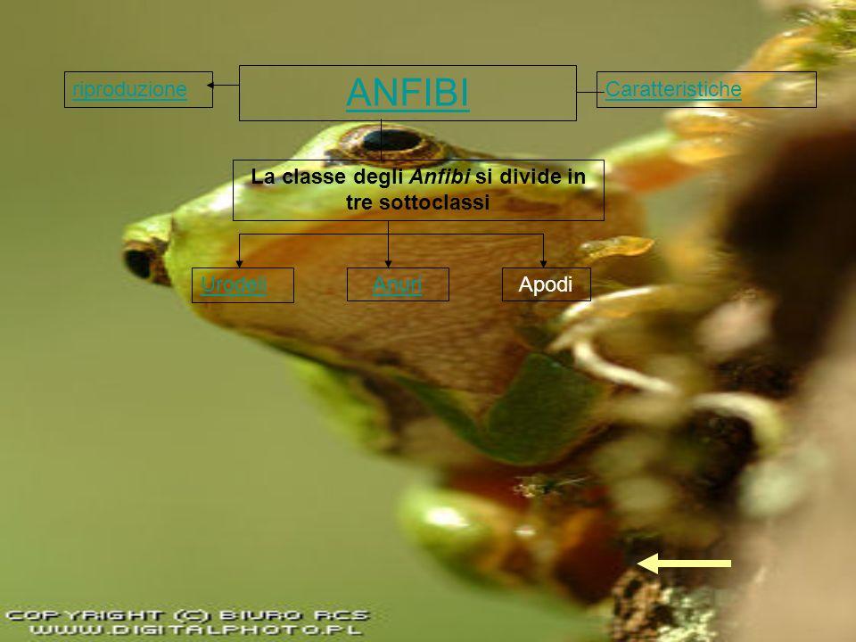 ANFIBI Caratteristiche La classe degli Anfibi si divide in tre sottoclassi Urodeli AnuriApodi riproduzione