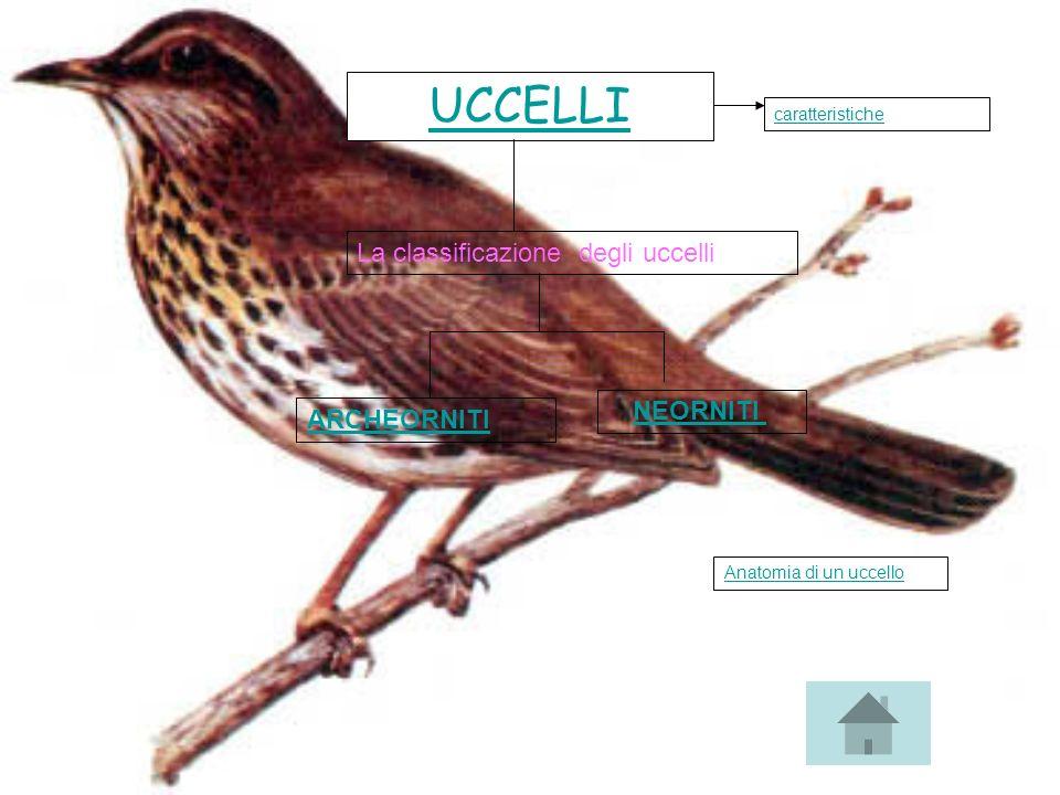 UCCELLI La classificazione degli uccelli ARCHEORNITI NEORNITI caratteristiche Anatomia di un uccello