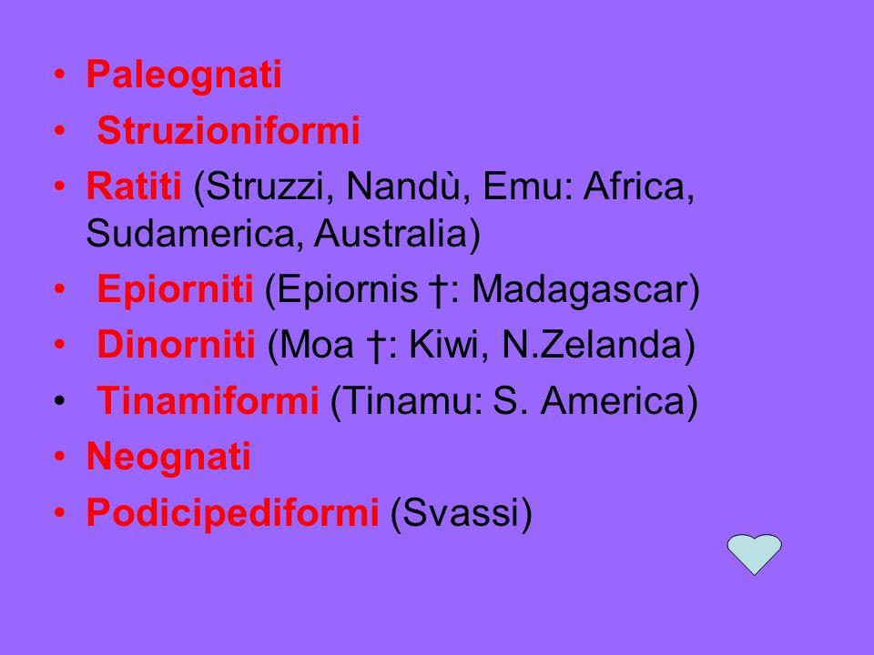 Paleognati Struzioniformi Ratiti (Struzzi, Nandù, Emu: Africa, Sudamerica, Australia) Epiorniti (Epiornis : Madagascar) Dinorniti (Moa : Kiwi, N.Zelanda) Tinamiformi (Tinamu: S.