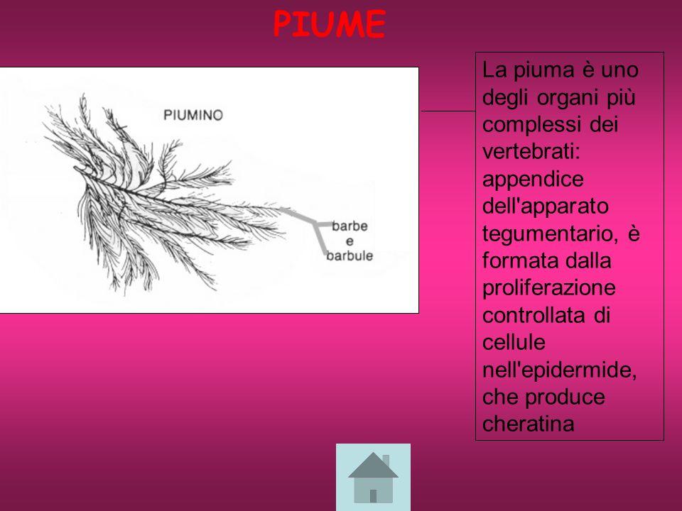 La piuma è uno degli organi più complessi dei vertebrati: appendice dell apparato tegumentario, è formata dalla proliferazione controllata di cellule nell epidermide, che produce cheratina PIUME
