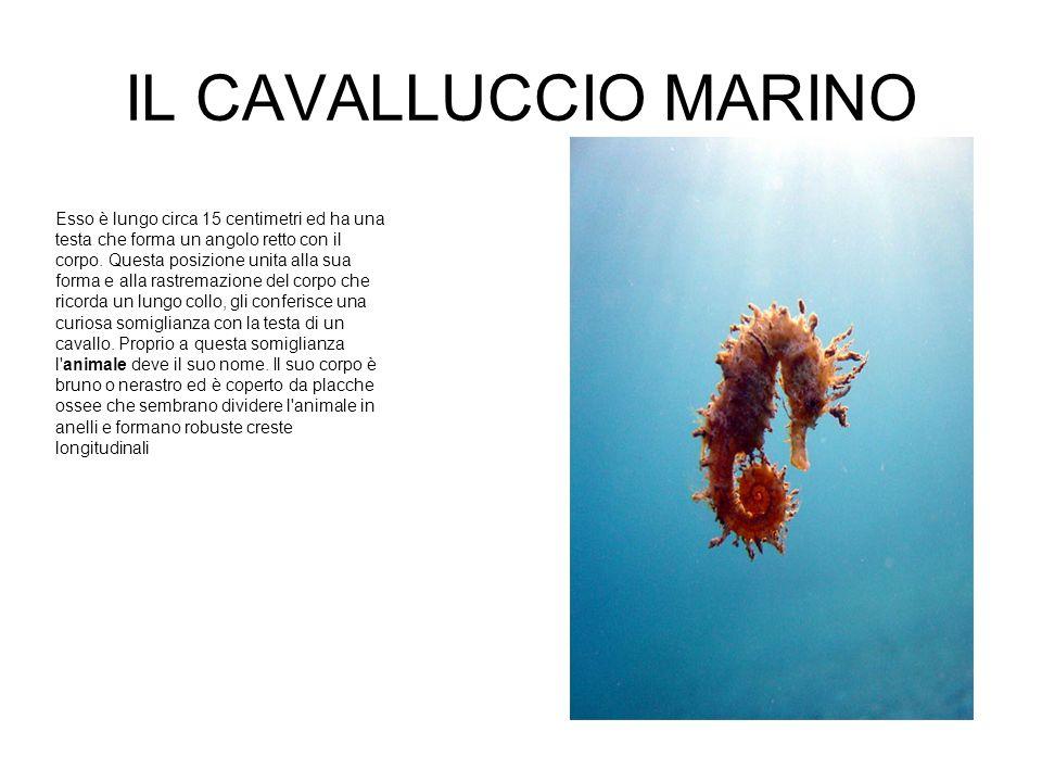 IL CAVALLUCCIO MARINO Esso è lungo circa 15 centimetri ed ha una testa che forma un angolo retto con il corpo.