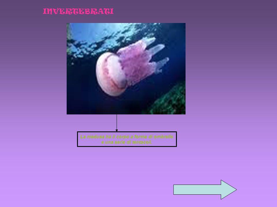 La medusa ha il corpo a forma di ombrello e una serie di tentacoli. INVERTEBRATI