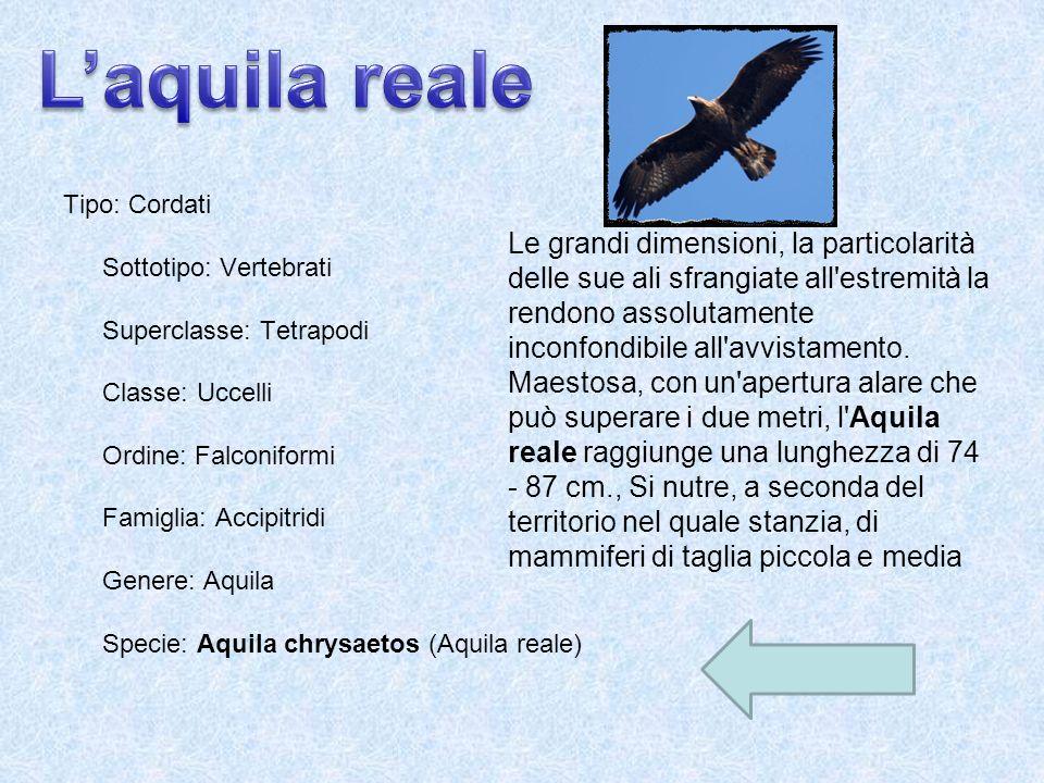 Tipo: Cordati Sottotipo: Vertebrati Superclasse: Tetrapodi Classe: Uccelli Ordine: Falconiformi Famiglia: Accipitridi Genere: Aquila Specie: Aquila ch