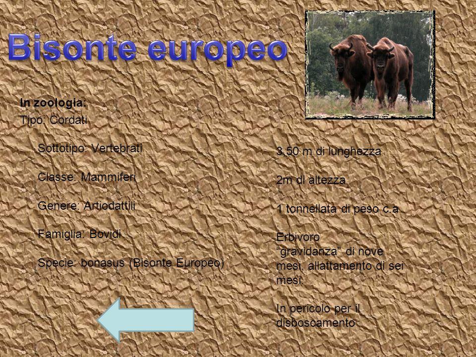 In zoologia: Tipo: Cordati Sottotipo: Vertebrati Classe: Mammiferi Genere: Artiodattili Famiglia: Bovidi Specie: bonasus (Bisonte Europeo) 3,50 m di l