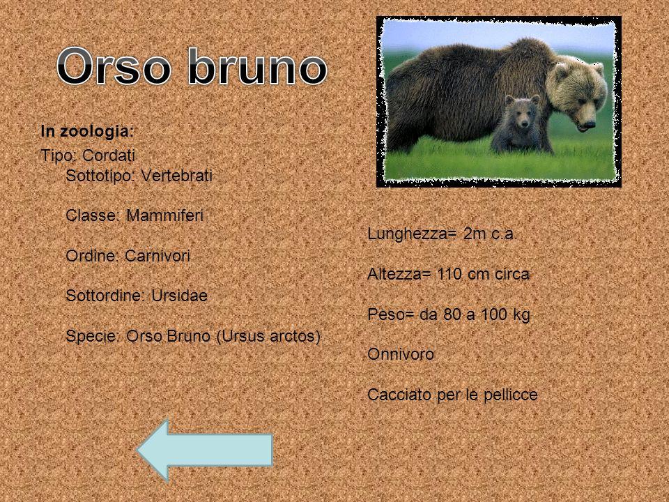 In zoologia: Tipo: Cordati Sottotipo: Vertebrati Classe: Mammiferi Ordine: Carnivori Sottordine: Ursidae Specie: Orso Bruno (Ursus arctos) Lunghezza=