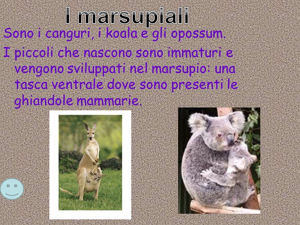 Sono i canguri, i koala e gli opossum. I piccoli che nascono sono immaturi e vengono sviluppati nel marsupio: una tasca ventrale dove sono presenti le
