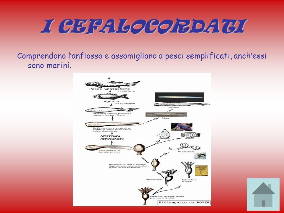 I CEFALOCORDATI Comprendono lanfiosso e assomigliano a pesci semplificati, anchessi sono marini.