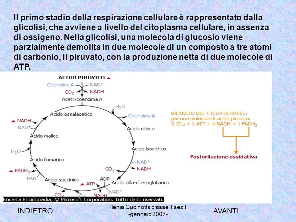 Ilenia Cucinotta classe II sez.I -gennaio 2007- Il primo stadio della respirazione cellulare è rappresentato dalla glicolisi, che avviene a livello de