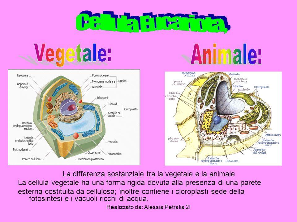 La differenza sostanziale tra la vegetale e la animale La cellula vegetale ha una forma rigida dovuta alla presenza di una parete esterna costituita d