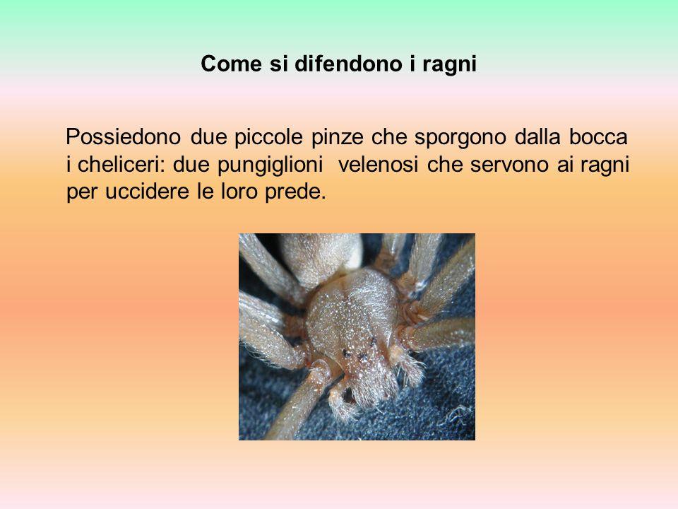Come si difendono i ragni Possiedono due piccole pinze che sporgono dalla bocca i cheliceri: due pungiglioni velenosi che servono ai ragni per uccider
