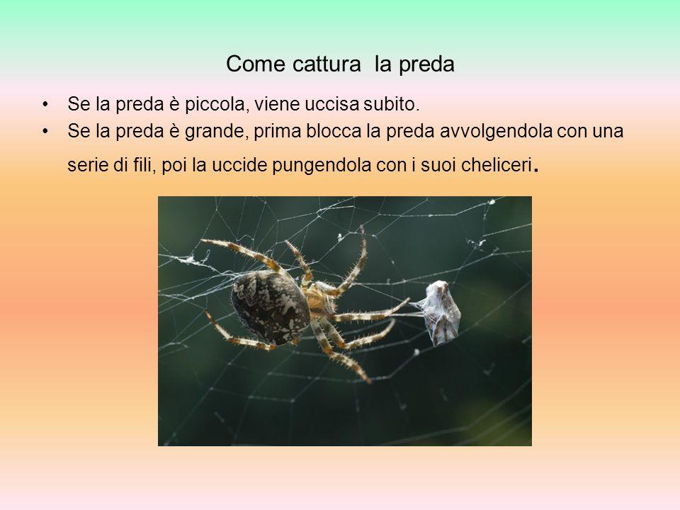 Le formiche Le formiche come tutti gli altri insetti hanno il corpo diviso in tre parti: capo torace addome è provvisto di sei zampe.