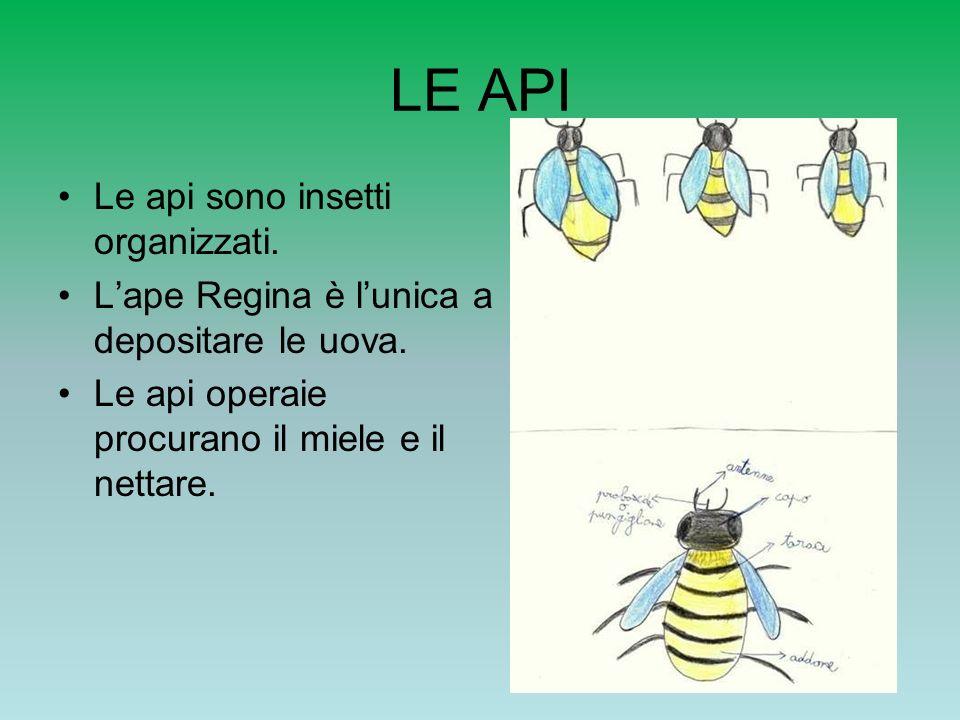 Le api operaie La loro vita dura 4 o 5 settimane.Puliscono le celle del favo.
