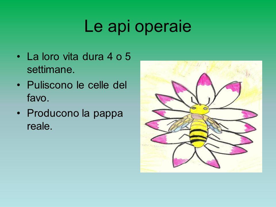 Le api operaie La loro vita dura 4 o 5 settimane. Puliscono le celle del favo. Producono la pappa reale.
