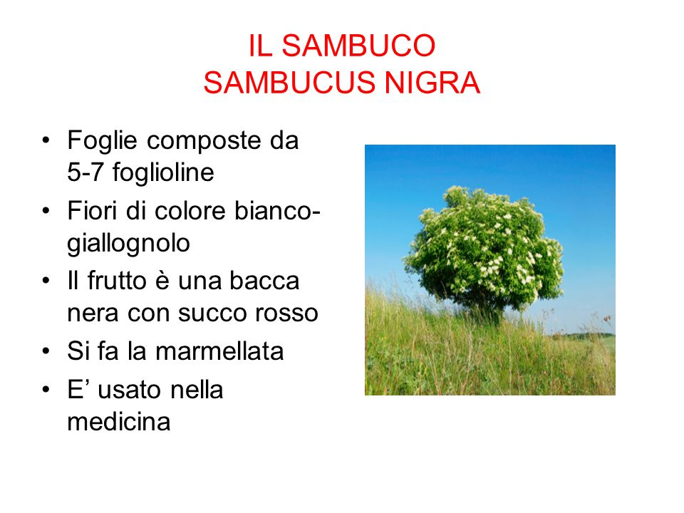 IL SAMBUCO SAMBUCUS NIGRA Foglie composte da 5-7 foglioline Fiori di colore bianco- giallognolo Il frutto è una bacca nera con succo rosso Si fa la marmellata E usato nella medicina