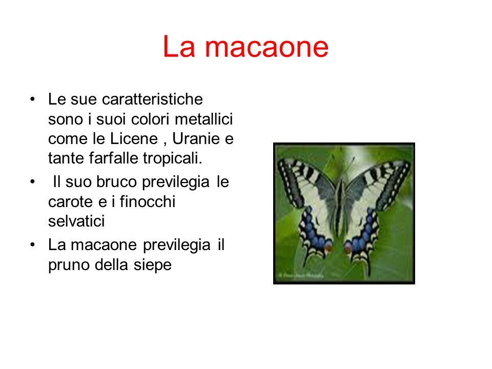 La macaone Le sue caratteristiche sono i suoi colori metallici come le Licene, Uranie e tante farfalle tropicali. Il suo bruco previlegia le carote e