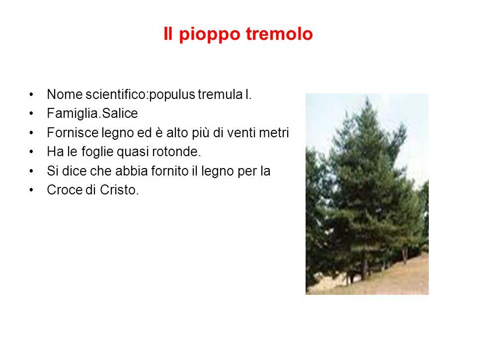 Il pioppo tremolo Nome scientifico:populus tremula l. Famiglia.Salice Fornisce legno ed è alto più di venti metri Ha le foglie quasi rotonde. Si dice