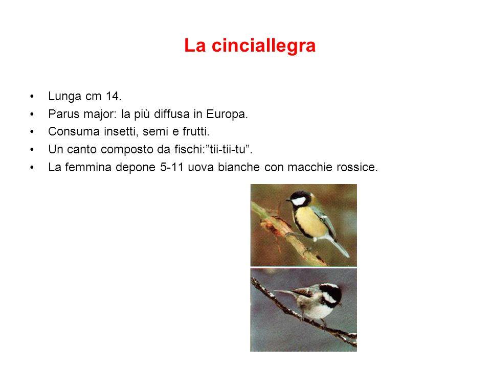 La cinciallegra Lunga cm 14. Parus major: la più diffusa in Europa. Consuma insetti, semi e frutti. Un canto composto da fischi:tii-tii-tu. La femmina