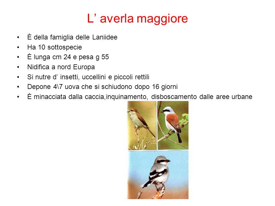 L averla maggiore È della famiglia delle Laniidee Ha 10 sottospecie È lunga cm 24 e pesa g 55 Nidifica a nord Europa Si nutre d insetti, uccellini e p