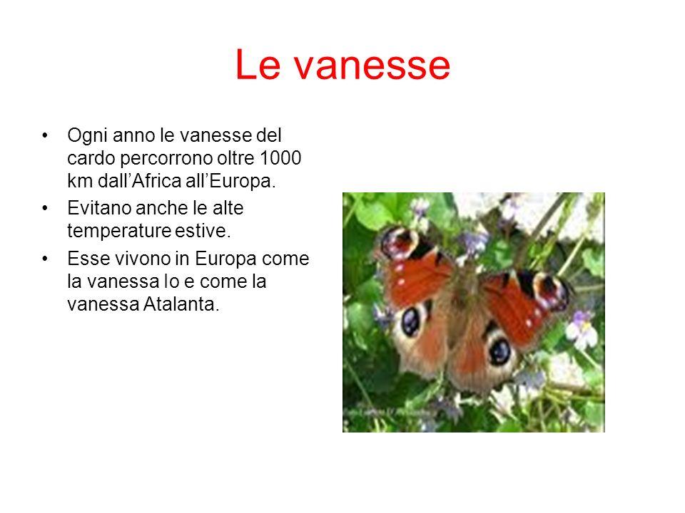 Le vanesse Ogni anno le vanesse del cardo percorrono oltre 1000 km dallAfrica allEuropa. Evitano anche le alte temperature estive. Esse vivono in Euro
