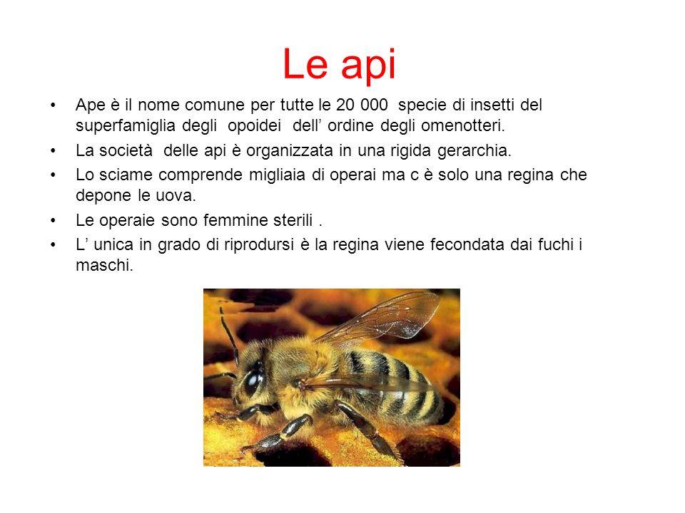 Le api Ape è il nome comune per tutte le 20 000 specie di insetti del superfamiglia degli opoidei dell ordine degli omenotteri. La società delle api è