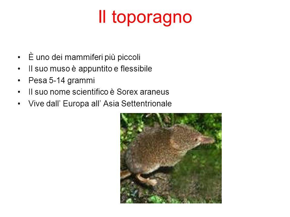 Il toporagno È uno dei mammiferi più piccoli Il suo muso è appuntito e flessibile Pesa 5-14 grammi Il suo nome scientifico è Sorex araneus Vive dall E