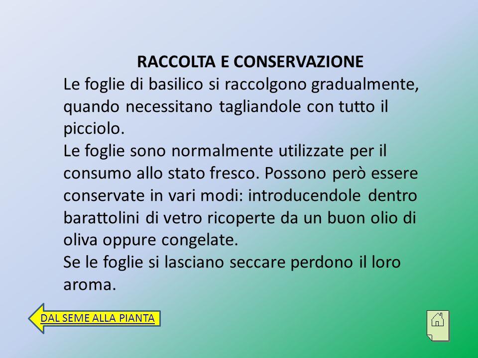 Curiosità Il basilico era conosciuto fin dall antichità oltre che per il suo aroma anche per le sue proprietà medicinali tanto che lo stesso Plinio il Vecchio lo cita nei suoi testi come pianta dalle capacità afrodisiache.
