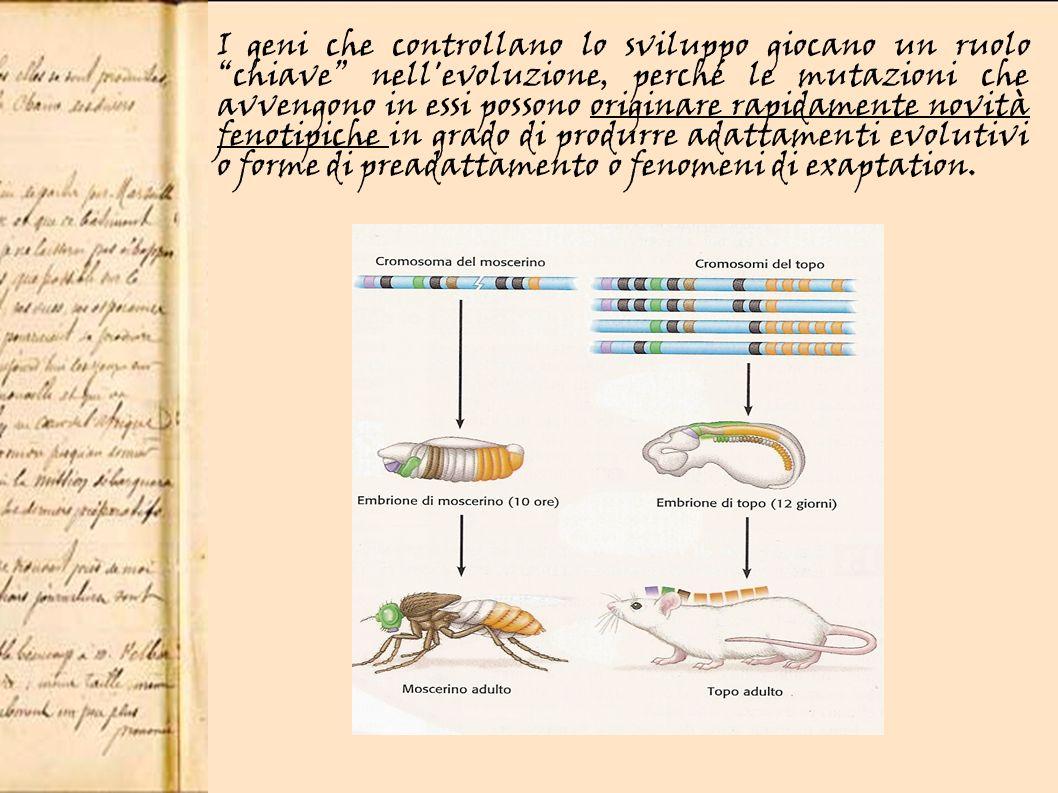 I geni che controllano lo sviluppo giocano un ruolo chiave nell evoluzione, perché le mutazioni che avvengono in essi possono originare rapidamente novità fenotipiche in grado di produrre adattamenti evolutivi o forme di preadattamento o fenomeni di exaptation.