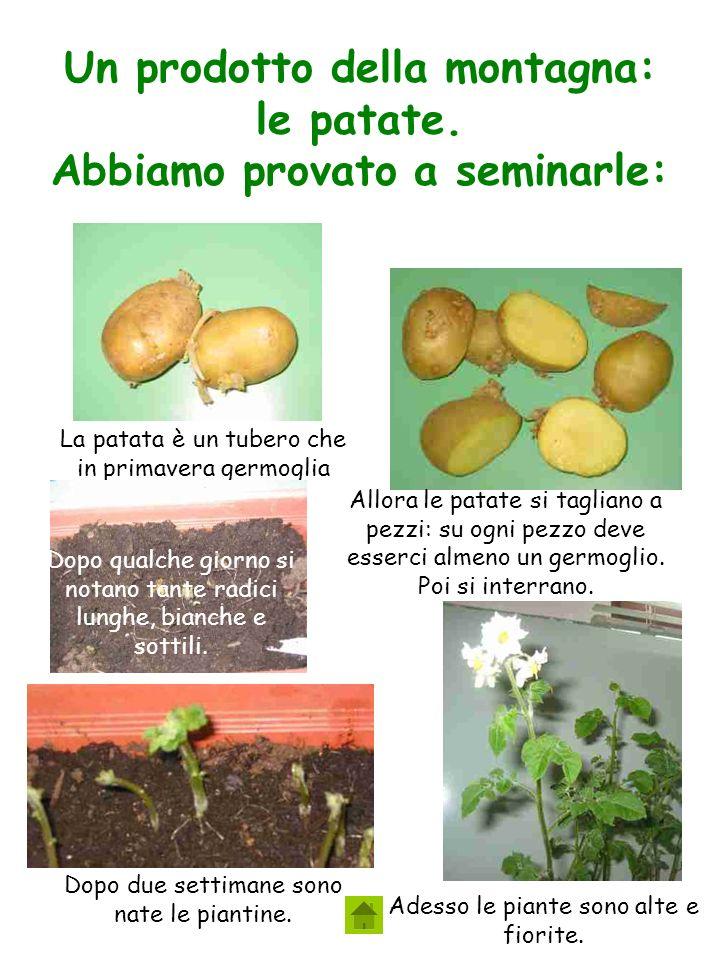 Un prodotto della montagna: le patate.