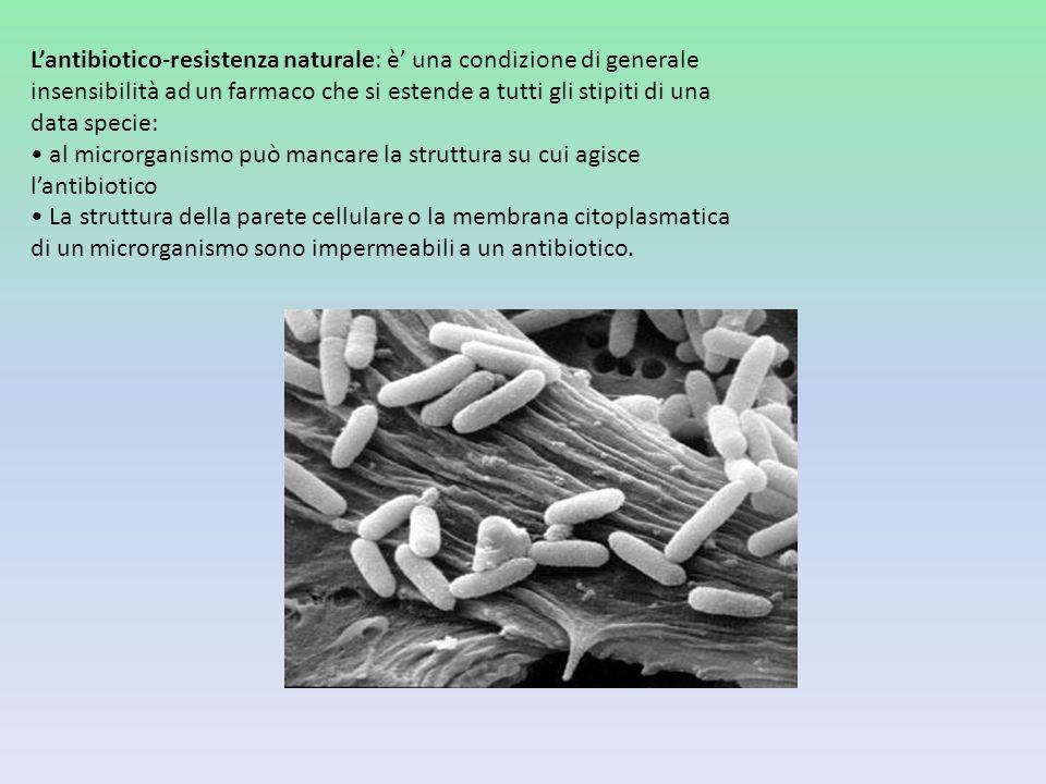 Lantibiotico-resistenza naturale: è una condizione di generale insensibilità ad un farmaco che si estende a tutti gli stipiti di una data specie: al m