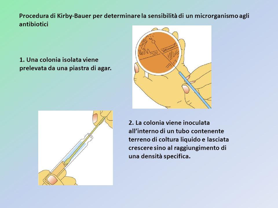 1. Una colonia isolata viene prelevata da una piastra di agar. 2. La colonia viene inoculata allinterno di un tubo contenente terreno di coltura liqui