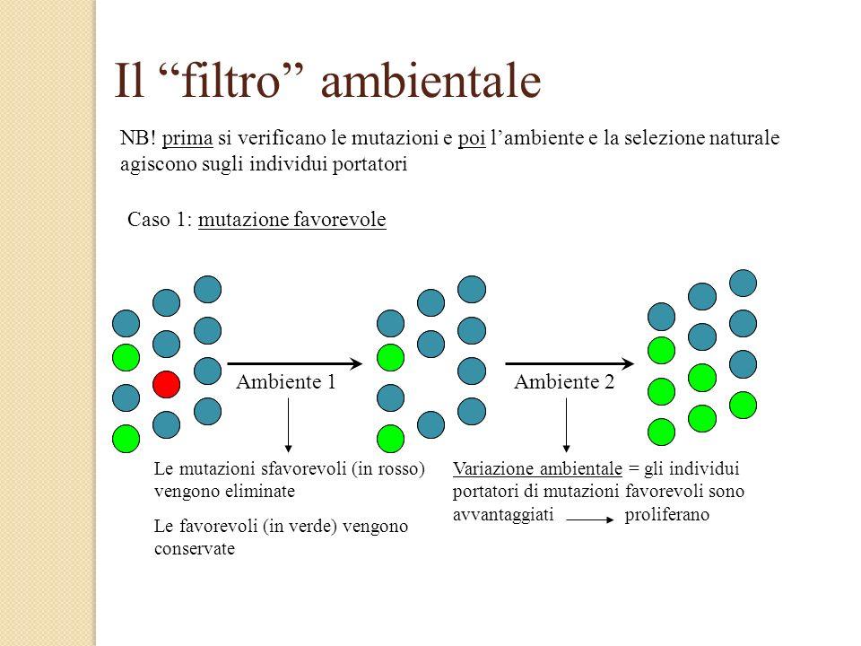 Il filtro ambientale NB! prima si verificano le mutazioni e poi lambiente e la selezione naturale agiscono sugli individui portatori Caso 1: mutazione