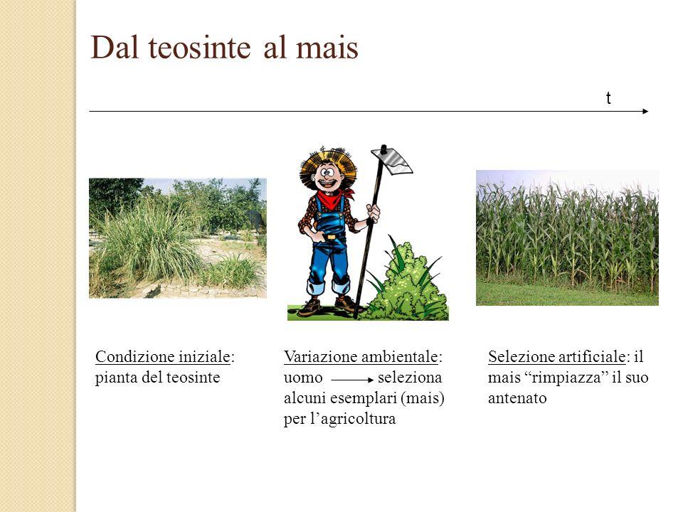 Dal teosinte al mais Condizione iniziale: pianta del teosinte Variazione ambientale: uomo seleziona alcuni esemplari (mais) per lagricoltura Selezione