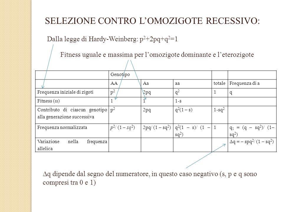 SELEZIONE CONTRO LOMOZIGOTE RECESSIVO: Genotipo AAAaaatotaleFrequenza di a Frequenza iniziale di zigotip2p2 2pqq2q2 1q Fitness (ω)111-s Contributo di