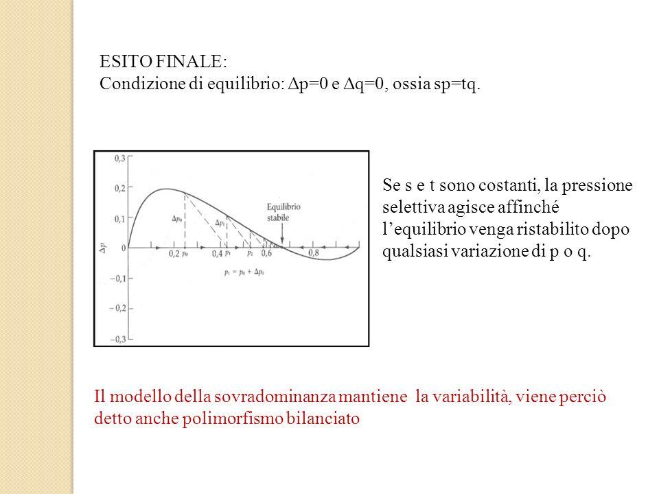 ESITO FINALE: Condizione di equilibrio: Δp=0 e Δq=0, ossia sp=tq. Se s e t sono costanti, la pressione selettiva agisce affinché lequilibrio venga ris