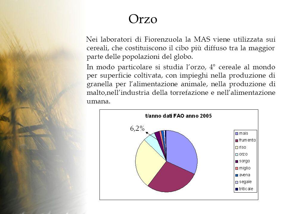 Orzo Nei laboratori di Fiorenzuola la MAS viene utilizzata sui cereali, che costituiscono il cibo più diffuso tra la maggior parte delle popolazioni del globo.