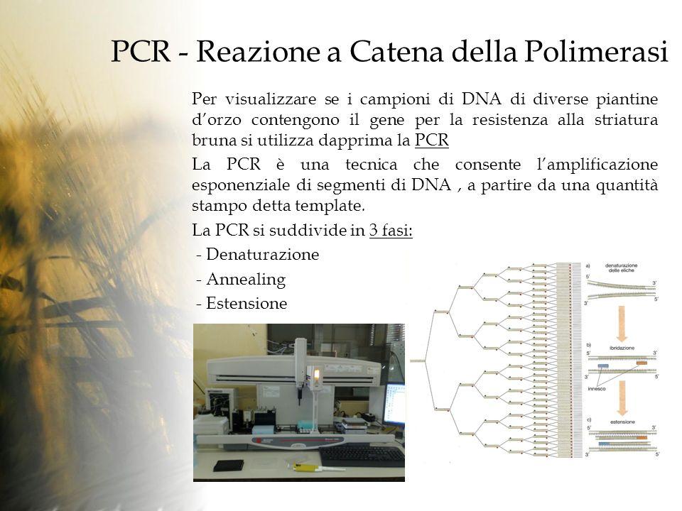 PCR - Reazione a Catena della Polimerasi Per visualizzare se i campioni di DNA di diverse piantine dorzo contengono il gene per la resistenza alla striatura bruna si utilizza dapprima la PCR La PCR è una tecnica che consente lamplificazione esponenziale di segmenti di DNA, a partire da una quantità stampo detta template.