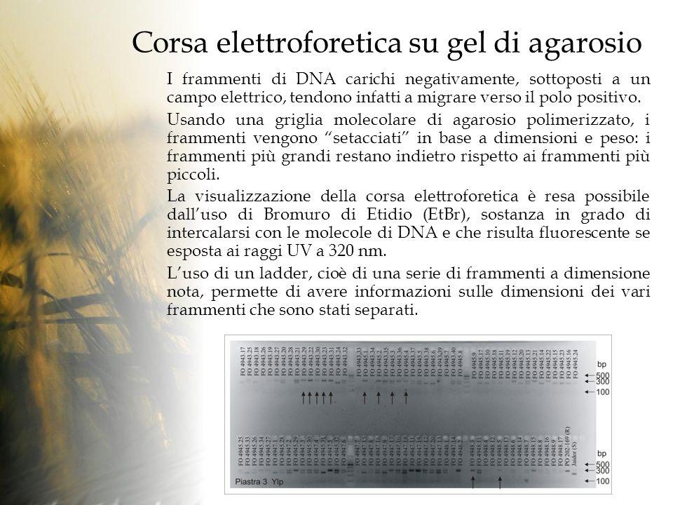 Corsa elettroforetica su gel di agarosio I frammenti di DNA carichi negativamente, sottoposti a un campo elettrico, tendono infatti a migrare verso il polo positivo.