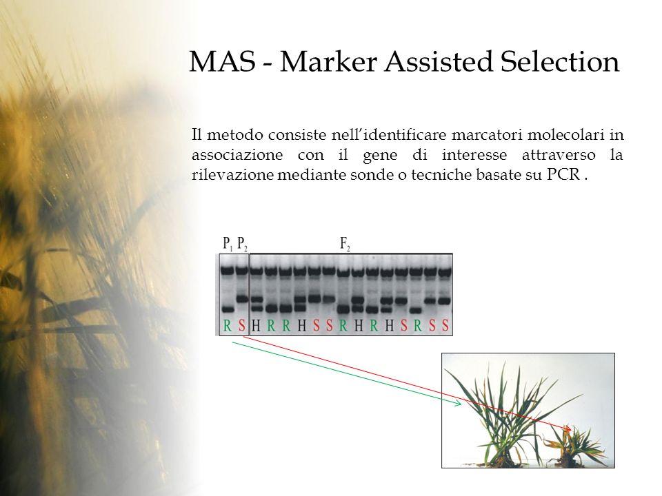 MAS - Marker Assisted Selection Il metodo consiste nellidentificare marcatori molecolari in associazione con il gene di interesse attraverso la rilevazione mediante sonde o tecniche basate su PCR.