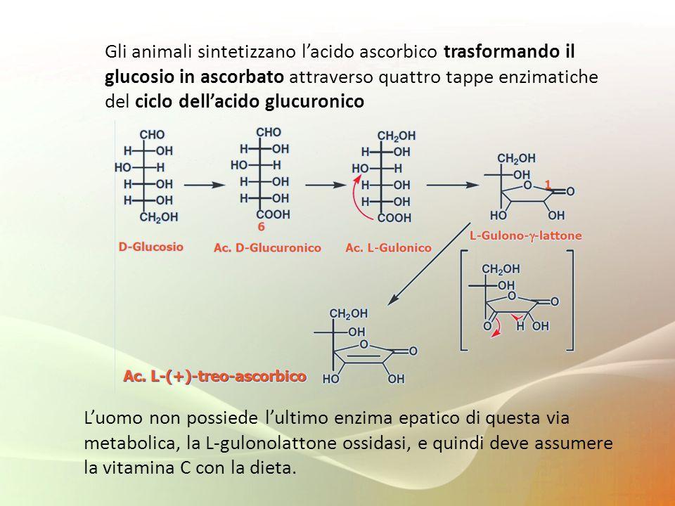 Gli animali sintetizzano lacido ascorbico trasformando il glucosio in ascorbato attraverso quattro tappe enzimatiche del ciclo dellacido glucuronico L